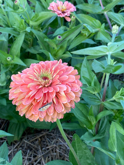 Benary's Salmon Rose Zinnia in the garden