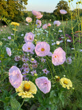 Cosmos and Zinnias in the cutting garden