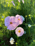 Pink Blush Cosmos Seeds