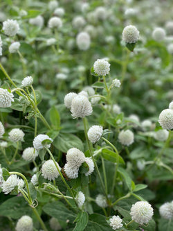 White Gomphrena Seeds for sale