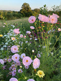 Cupcake Cosmos in the cutting garden