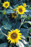 Irish Eyes Sunflowers Dwarf Sunflower Seeds