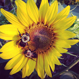 Sunflower Seeds Great for Pollinator Gardens