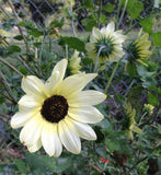 Italian White Sunflower Seeds