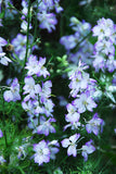 Larkspur Seeds for Sale