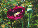 Lauren's Grape Poppy Seeds Papaver somniferum Seeds