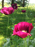 Papaver somniferum Seeds For Sale Poppy Seeds