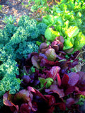 Lettuces Mixed Varieties Leaf Lettuce Seeds
