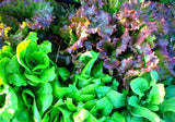 Mountainlily Farm Mixed Lettuce Seeds