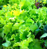 Mixed Lettuce Seeds for the vegetable garden