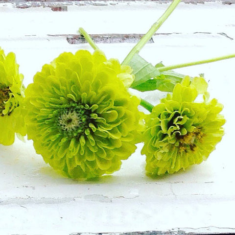 Benary's Giant Lime Zinnia Seeds