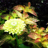 Giant Lime Zinnia and Coleus