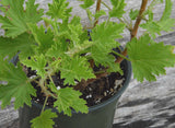 Fragrant Pelargonium Citronella Scented Geranium