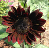 Burgundy Moulin Rouge Sunflower Seeds