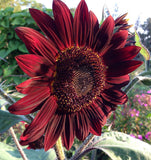 Sunflower Moulin Rouge Red Sunflowers
