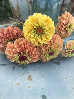 Queen Lime Orange Zinnia Seeds