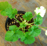 Orange Scented Geranium Fragrant Pelargonium Plant