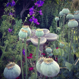 Double Poppy Seed Pods in the Garden