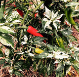 Heirloom Fish Pepper great for container gardens