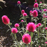 Pink Gomphrena in the Garden