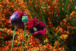 Mixed Poppy Seeds Breadbox Poppies
