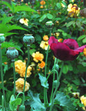 Papver sominferum Poppy Seeds Mixed Colors