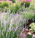 Live Lavender Plants for Sale