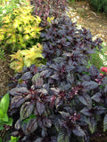 Purple Basil in Mixed Plantings