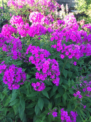 First Lady Garden Phlox
