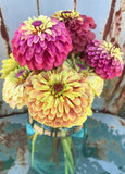 Heirloom Zinnias Great for Cut Flowers