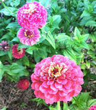 Heirloom Zinnia Queen Red Lime Zinnia