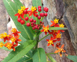 Red Tropical Milkweed Seeds