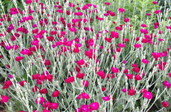 Rose Campion Cottage Garden Seeds