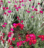 Rose Campion Heirloom Seeds