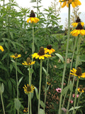 Cabbage Leaf Coneflowers Native Plant Seeds