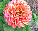 Annual Zinnia Seeds Benary's Giant Salmon Rose Zinnia