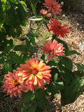 Seniorita Zinnias for sale