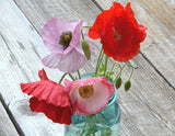 Mixed Colors Shirley Poppy Seeds
