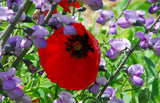 Papaver rhoeas Shirley Poppy Seeds