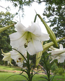 Formosa Lilies easy to grow from seeds