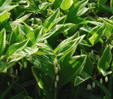 Variegated Solomon Seal For Sale