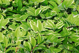 Shade Garden Plants Variegated Solomon's Seal