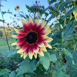 Lovely Strawberry Lemonade Sunflower in bloom