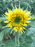 Double flowered Lemonade sunflowers