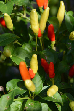 Tabasco Pepper Seeds Hot Peppers