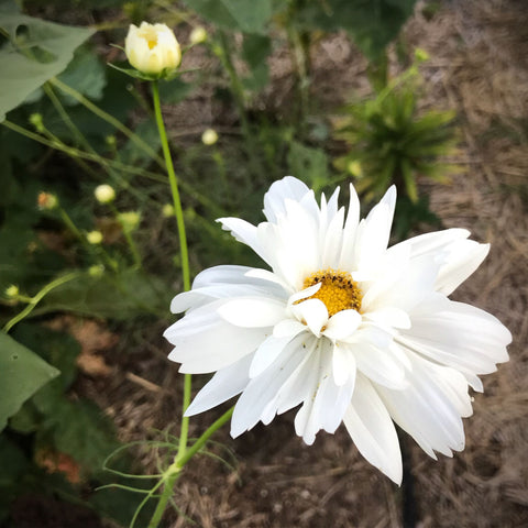 Psyche White Cosmos for Cut Flower Gardens