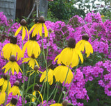 Yellow Coneflower Ratibida