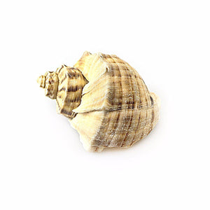 Pack Of 2 Sea Shells Approx 10cm Decor For Your Fish Tank Aquarium 3638 (Parcel Rate)