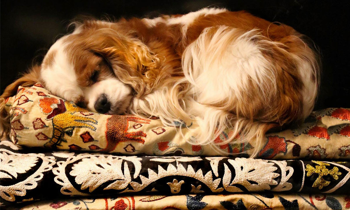 Adorable dog sleeping on stack of folded Uzbek Suzani textiles