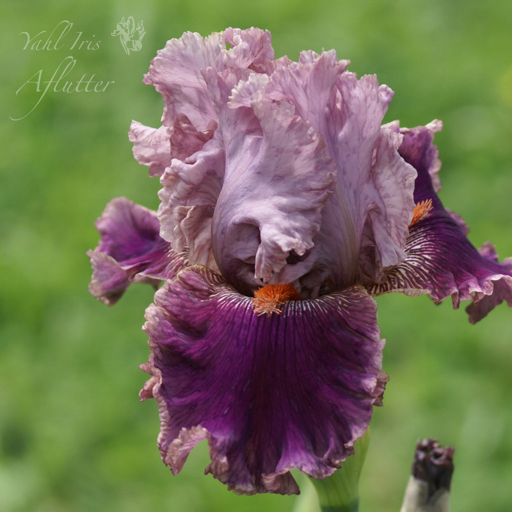 Aflutter tall bearded iris